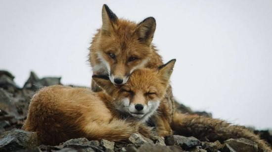 两只狐狸-睡前故事